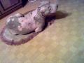 демодекоз у собак фото