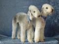 гипоаллергенные собаки породы фото