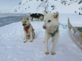 гренландская собака фото