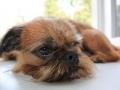 порода собак грифон фото