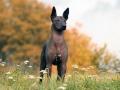 Лысые собаки фото