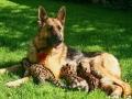 немецкая овчарка характеристика породы фото