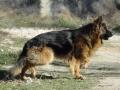 Длинношерстная немецкая овчарка фото