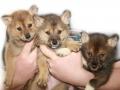 собаки сулимова фото