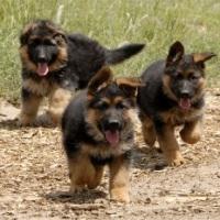 рацион кормления щенка немецкой овчаркий овчарки