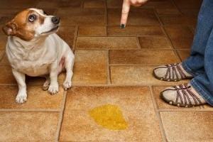 Учим собаку не писать дома