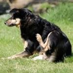 блохи у собак передаются человеку
