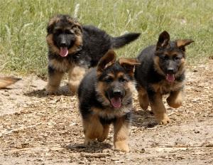 О привильном кормлении щенков немецкой овчарки