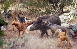 Охота на кабана с собаками