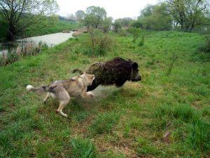 Охота с собакой на кабана