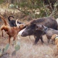 собака для охоты на кабана