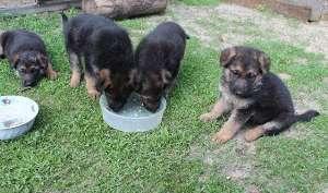 Режим кормления щенка