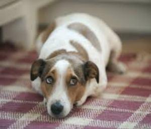 Взрослая собак начала гадить в доме