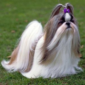 Порода собак шицу (ши-тцу)