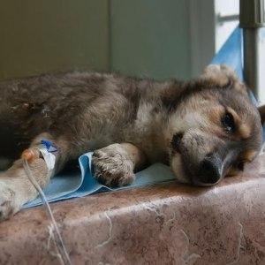 Собака больная чумкой