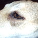 У собаки начали гноиться глаза