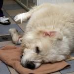 Эпилепсия у собак фото