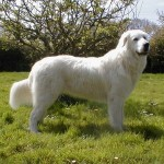 Маремма-абруцкая овчарка фото