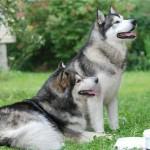 Порода собак маламут