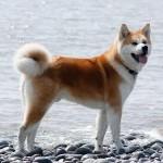 Японская порода собак акита-ину