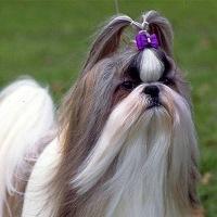 собака шицу