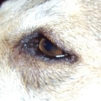 гноиться глаз у собаки