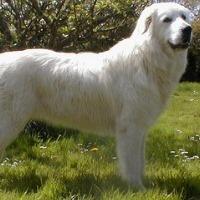 маремма-абруццкая овчарка фото