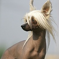 лысая собака фото