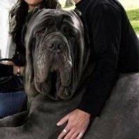 самые большие породы собак в мире фото