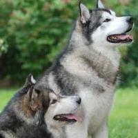 порода собак маламут фото