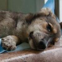 признаки чумки у собак фото