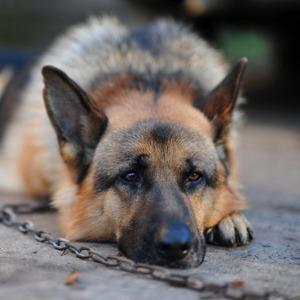 Собака воет на цепи