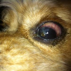 Гнятся глаза у собаки фото