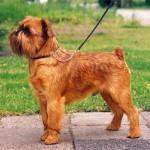 Собаки породы гриффон