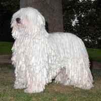командор собака