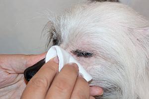 Первая помощь при гноении глаз у собаки