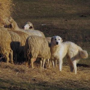 описание породы маремма-абруцкая овчарка картинки