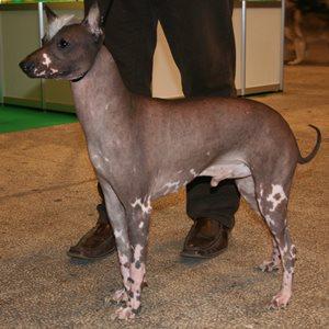 перуанская лысая собака фото