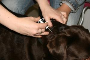 процесс чипирования собаки фото