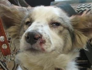 Легочная форма чумки у собаки