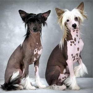 лысая китайская хохлатая собака фото