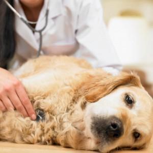 Лечение чумки у собак фото