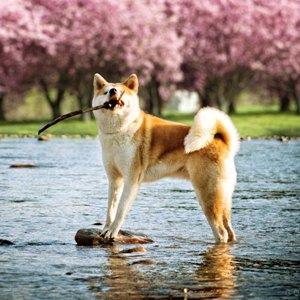 Особенности содержания собак породы акита-ину фото