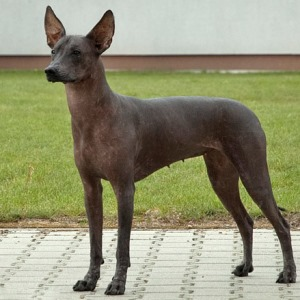 Мексиканская голая собака (ксолоитцкуинтли) фото