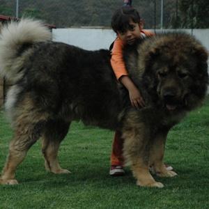 Кавказская овчарка фото