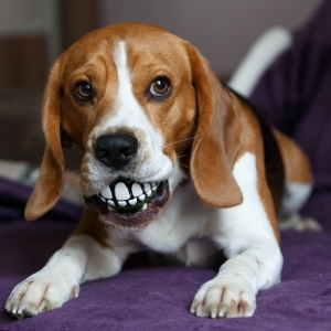 Порода бигль описание породы характер собак