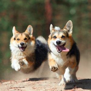 стерилизация собаки плюсы и минусы фото