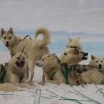 Суровый северный пес: гренландская собака