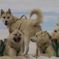 гренландской собаки фото
