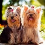 Гламурная собачка или бесстрашный пес: йоркширский терьер, плюсы и минусы породы